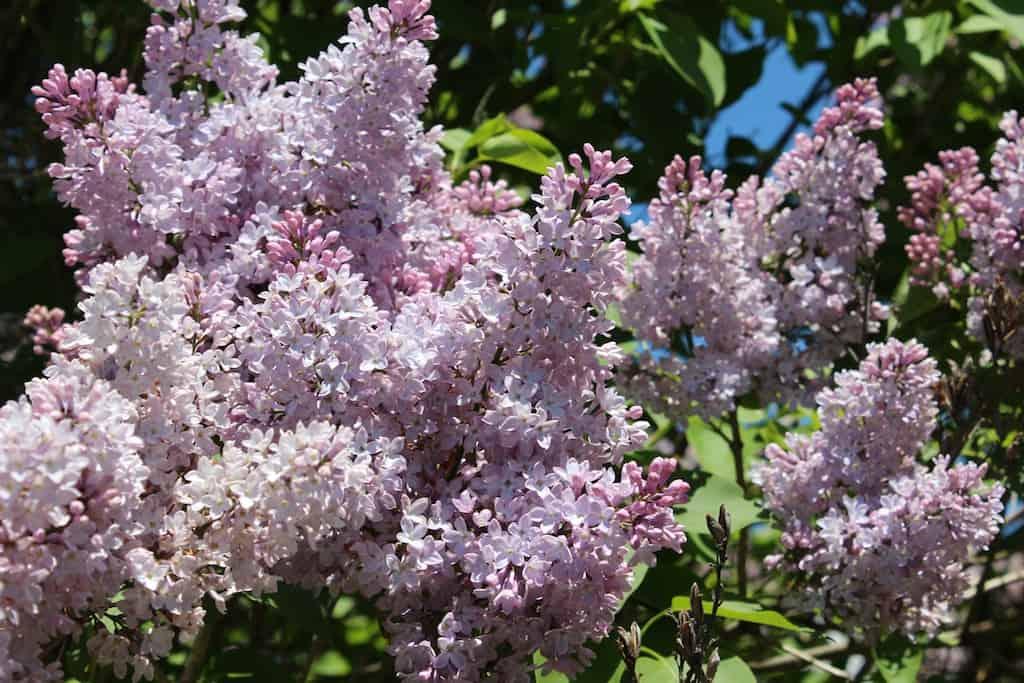 Ephraim Shores - lilac